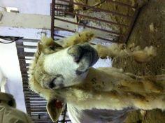 afro sheep