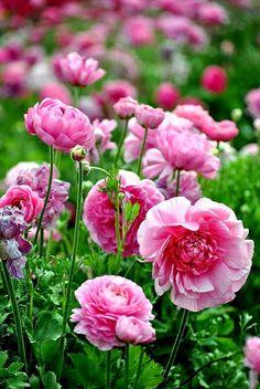 Google+......pink Ranunculus...różowy,azjatycki jaskier