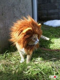 I am a lion....hear me ROAR