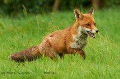 Red Fox by Flickpicpete - Peter G W Jones
