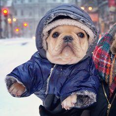 S i r W i n s t o n, French Bulldog in a Parka, in the Snow, too cute❤️