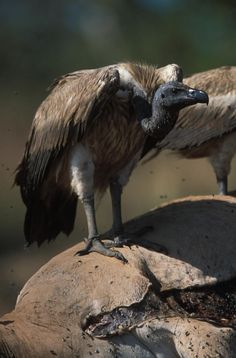The Slender-billed Vulture (Gyps tenuirostris) is found along from the Gangetic plain north, west to Himachal Pradesh, south potentially as far as northern Orissa, and east through Assam. It inhabits dry open country and forested areas usually away from human habitation. Its numbers have declined rapidly largely due to the use of the diclofenac in working farm animals. Diclofenac is poisonous to vultures, causing kidney failure, and is being replaced by meloxicam which is not toxic.