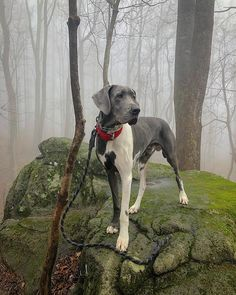 Ove Big Puppies, Hiking Dogs, Great Dane Dogs, Great Smoky Mountains, Four Legged, Beautiful Dogs, Cincinnati, Tennessee, Pitbulls