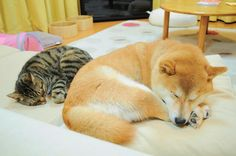 "Shiba Inu Kabosu, the original ""Doge"" taking a nice snooze with her cat pal"
