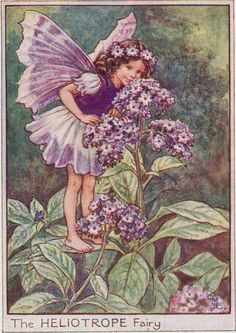 Flower Fairies: THE HELIOTROPE FAIRY Vintage Print c1930 by Cicely Mary Barker