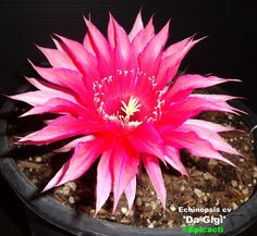 """Echinocereus hybrid 'Da Gigi' - 4""""-5"""" bloom, compact dk. green globular type stem growth ave. 4"""" to 5"""" in diameter, 4""""+ max tall for mature blooming sized plants. Heavy pupper, Profuse bloomer, heavy petal count"""