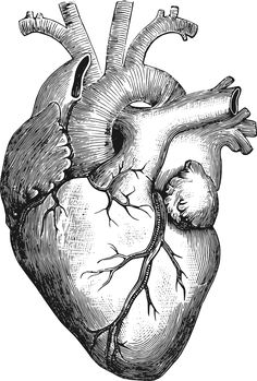 Anatomical Heart by gustavorezende - Image from a Vintage Science Book, 1884. Traced from a modified version of http://thegraphicsfairy.com/royalty-free-images-anatomical-heart-vintage/