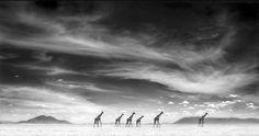 Nick Brandt - Giraffes Under Swirling Clouds, Amboseli, 2007