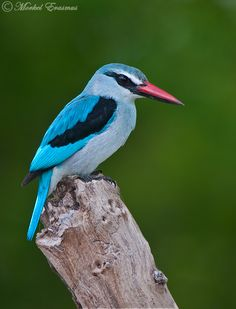 Woodlands Kingfisher | MorkelErasmus on deviantART