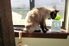 Our Siamese boy hogging all the organic wheat grass!