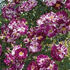 Purple Splash rose, will need to find a place for one of these!