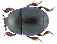 Family: Histeridae Size: 2.5-3.5 mm Origin: Europe Ecology: in excrement and carrion on sandy soils Location: Italy, Tirrenia leg.det. U.Schmidt, 1973 Photo: U.Schmidt, 2008