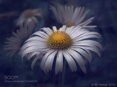 Daisy by serdyukalisa. @go4fotos