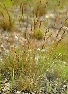 Festuca filiformis  -20 X 15 cm  Floraison : Juillet à Octobre  Graminée à très fines feuilles cylindrique et épillets de fleurs bleuâtres, devenant jaune en automne.   Exposition à mi-ombre ou à l'ombre. Sol ordinaire, sans trop de calcaire, sec à modérément humide. Rustique, au moins jusqu'à -15°C.  Feuillage persistant. Port Hérissé.