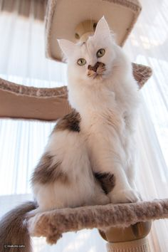 """""""There are no ordinary cats."""" --Colette  What a beautiful marked cat.  <3"""