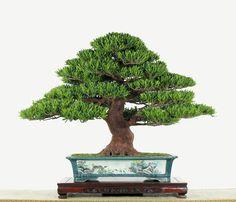 Podocarpus costalis by Lien-Tsao Li