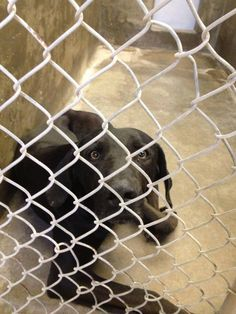 Lab mix male 2-3 years old Kennel A7 Available 2-27-2014**$51 to adopt Located at Odessa, Texas Animal Control https://www.facebook.com/speakingupforthosewhocant/photos/a.248402621850650.69312.248355401855372/735278026496438/?type=1&theater