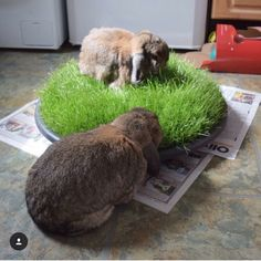 Providing grass is not only good for boredom and enrichment but also great for teeth! Rabbit Life, Rabbit Run, House Rabbit, Rabbit Toys, Pet Rabbit, Diy Bunny Cage, Diy Bunny Toys, Bunny Cages, Hamsters