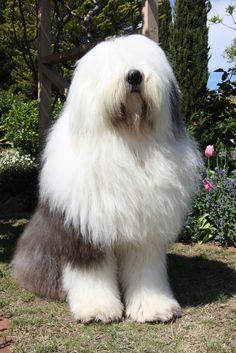 Old English Sheepdogs - Big Shaggy Dog   Flickr - Photo Sharing!