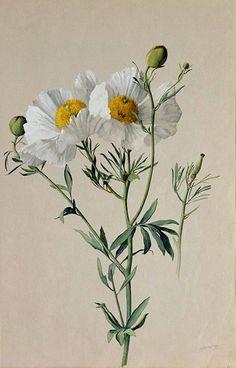 "https://flic.kr/p/fzzZjr | ""Matilija Poppy: Romneya trichocalyx"" 1908-1918 by A. R. Valentien | Albert R. Valentien (1862-1925)  American art pottery decorator and botanical artist. Watercolor San Diego Natural History Museum"