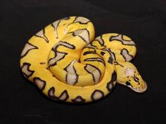 Killer Enchi Clown Ball Python. Credit: Anders and Marianne Sjobeck The Reptile Report is made possible by ShipYourReptiles.com