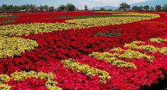 Crean el tapete floral más grande del mundo