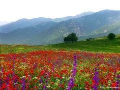 Կակաչագորգ...Դսեղ - Tulip-field in Armenia's highlands