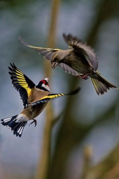 ❥Fighting Finches by Alan Beesley❥