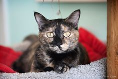 Cashew was adopted on May 29, 2013!!!  Cashew is a sweet, quiet kitty who came from an apt complex where the residents were abusing cats. She has very pretty eyes and likes quiet petting. She has made lots of progress trusting humans, but would be best as a single cat.