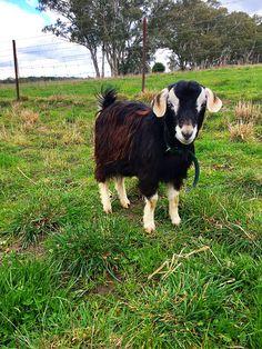 Pin By Kerry Kowald On Mini Goats Australian Miniature Goats