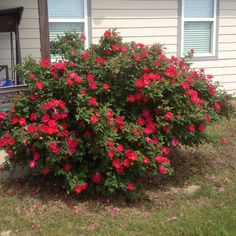 My knock out rose bush in back by pool!!!