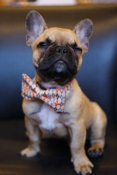 Bouledogue français / French bulldog