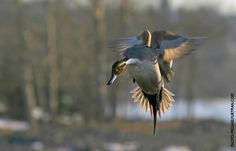 Northern Pintail Facts, Figures, Description and Photo