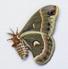 Types Of Moths, Cecropia Moth, Large Moth, Atlas Moth, Perfect Grade, Glassine Envelopes, Thing 1, Victorian Era, Insects
