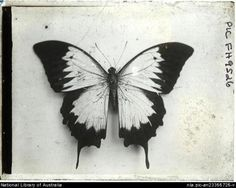 Hurley, Frank butterfly