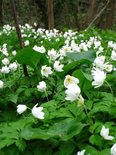 Wood Anenome. A lovely British native which grows well in woodland in dappled shade.