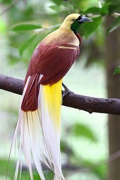 Birds ©: Lesser Bird of Paradise (male) Pretty Birds, Beautiful Birds, Animals Beautiful, Beautiful Pictures, Rare Birds, Exotic Birds, Tropical Birds, Colorful Birds, Australian Birds