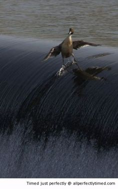 Duck surfing – This duck knows how to catch the waves. Wonder if he will attend any surfing competitions.