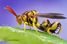 Chalcid Wasp! Call A1 Bee Specialists in Bloomfield Hills, MI today at (248) 467-4849 to schedule an appointment if you've got a stinging insect problem around your house or place of business! You can also visit www.a1beespecialists.com!