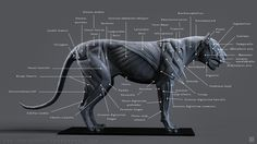 Lion Muscles - Labeled, Tony Camehl on ArtStation at https://www.artstation.com/artwork/4Rrmn