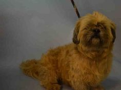 Brooklyn Center BANIT – A1054534  MALE, TAN / GRAY, SHIH TZU MIX, 7 yrs OWNER SUR – EVALUATE, NO HOLD Reason PERS PROB Intake condition GERIATRIC Intake Date 10/12/2015, From NY 11411, DueOut Date 10/12/2015, Urgent Pets on Death Row, Inc