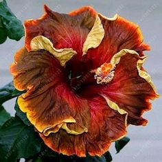 100 pcs/bag hibiscus flower seeds, giant hibiscus seed garden decoration flower seeds bonsai potted plant for home garden