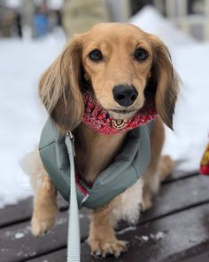 How beautiful is english cream dachshund This adorable sausage dog puppy is wearing her DJANGO Reversible Puffer insulated winter dog coat in color Sage Green Dapple Dachshund, Long Haired Dachshund, Dachshund Puppies, Weenie Dogs, Cute Puppies, Pet Dogs, Dogs And Puppies, Sausage Dog Puppy, Sausage Dogs