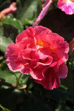 Edgar Degas ~ Floribunda Rose