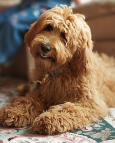 gorgeous ginger labradoodle