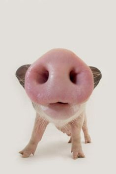 Oink~♛