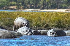 Pod of slumbering hippos Chobe Game Park in Botswana ignore us at first, but grow restless when our safari boat approaches too close