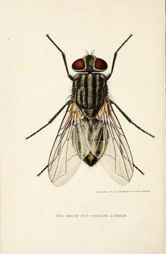 Frontispiece.The house fly, disease carrier, an account of its dangerous activities and of the means of destroying it. 1911.