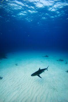 Caribbean Reef Sharks - New Providence, Bahamas by James Scott