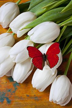 Red Butterfly on White Tulips ~ Photo: Gary Gay